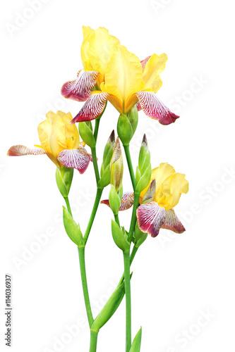 Garden Poster Iris Flowers of iris of yellow and purple colors