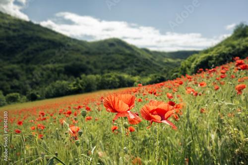 poppy field #114041380