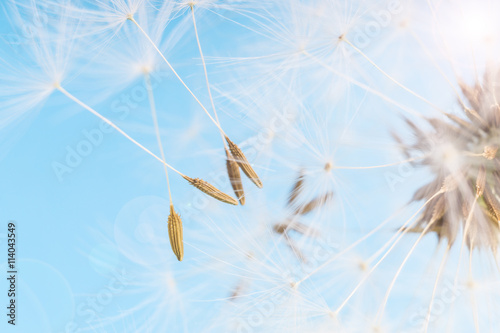 Poster Printemps Dandelion abstract blue background. Shallow depth of field.