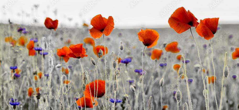Fototapety, obrazy: Panorama z nmaków polnych i kwiatów polnych