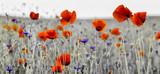 Fototapeta Papavers - Panorama z nmaków polnych i kwiatów polnych