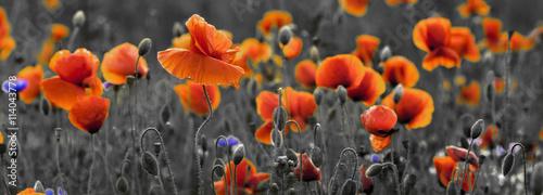 Fototapeta Panorama z nmaków polnych i kwiatów polnych obraz