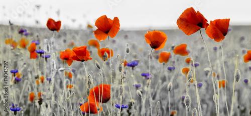 obraz dibond Panorama z nmaków polnych i kwiatów polnych