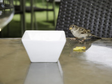 Hungry Sparrow On A Table Eating The Remains