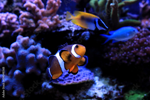 Fotografie, Tablou  Clownfish, the real nemo