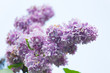 branch of blossoming lilac close up