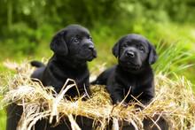 Two Beautiful Purebred Black P...