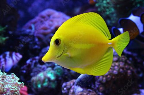 Fotografie, Tablou  Zebrazoma Yellow tang