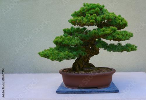 Bonsai Bonsai pine tree against a white wall.
