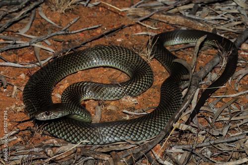 Fototapeta  Pseudechis australis, commonly known as the king brown- or mulga snake, or Pilbara cobra, is a species of venomous snake found in Australia