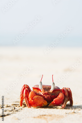 The big red crab sitting on the sand