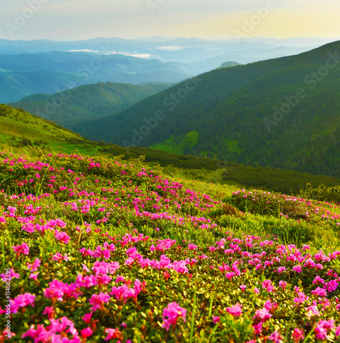 Fototapety, obrazy: Rhododendron flowers in summer mountains