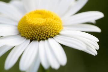 Panel Szklany Do pokoju dziewczyny chamomile flower closeup