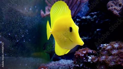 Photo  Yellow tang - Zebrasoma flavescens