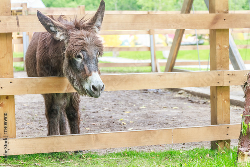 Tablou Canvas donkey on farm behind wooden fence