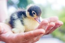 Cute Baby Duck In Child's Hands