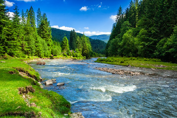 Mountain river in spruce forest