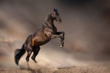 Beautiful Bay Stallion Rearing Up In Desert Dust  Against Dark Storm Sky