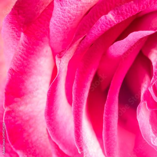 fototapeta na ścianę rose