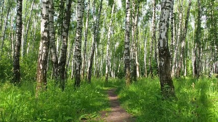 Fototapeta Brzoza Beautiful morning bright sunlit summer birch woods with pathway - slider slow motion shot. Camera slowly moves along the path surrounded by sunlit birches. Slow motion shot.