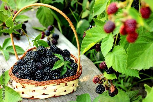 Fényképezés  Blackberry on basket in summer garden