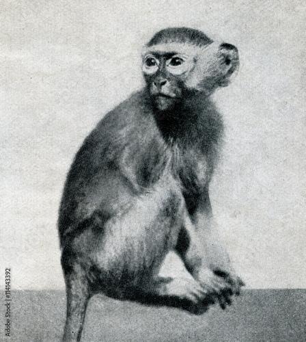 Fotografie, Obraz  Green monkey (Chlorocebus sabaeus) from Brehm's Animal Life, 1927