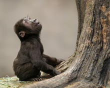 Female Infant Western Lowland Gorilla By Tree