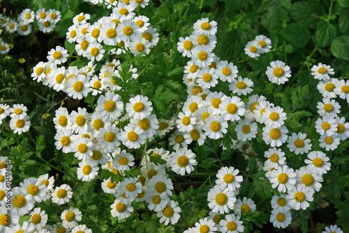 Papiers peints Marguerites Petites marguerites blanches et jaune au printemps, parc floral Paris