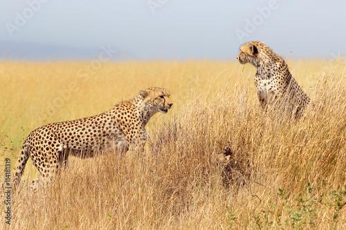Cheetah in the Serengeti National Park. Tanzania.