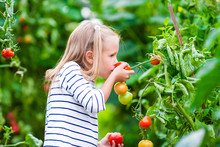 Adorable Little Girl Smelling Cucumbers And Tomatoes In Greenhouse. Season Of Ripening Vegetables In Green Houses.