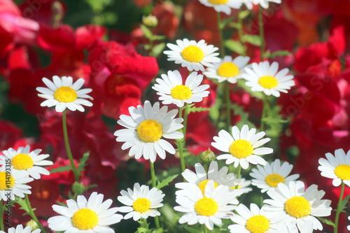 Fotografie, Obraz  赤と白の花