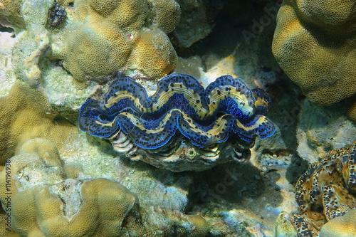 Underwater marine bivalve mollusk maxima clam, Tridacna maxima, Pacific ocean, Bora Bora, French Polynesia