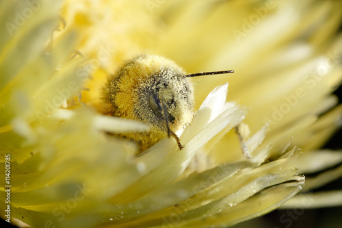 fototapeta na lodówkę Bee covered in pollen