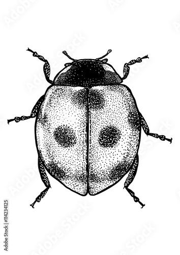 Fototapeta premium engraved, drawn illustration, Marybeetle, Ladybug, Ladybeetle,