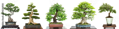 Foto auf Leinwand Bonsai Bonsai Laubbäume auf einer Ausstellung im Panorama