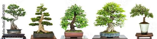 Photo sur Aluminium Bonsai Bonsai Laubbäume auf einer Ausstellung im Panorama