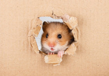 Little Hamster Looking Up In C...