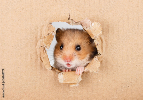 Fotografía  Little hamster looking up in cardboard side torn hole