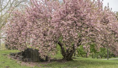 Panel Szklany Orientalny Prunus serrulata or Japanese Cherry