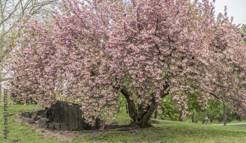 Prunus serrulata or Japanese Cherry - 114270302