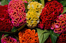 Colorful Red Yellow Orange Celosia Flower
