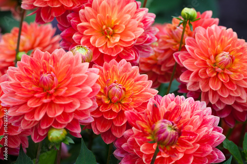 Spoed Foto op Canvas Dahlia Dahlia red flower in garden full bloom