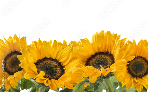 Keuken foto achterwand Zonnebloem Horizontal sunflower line isolated on white background as package design element