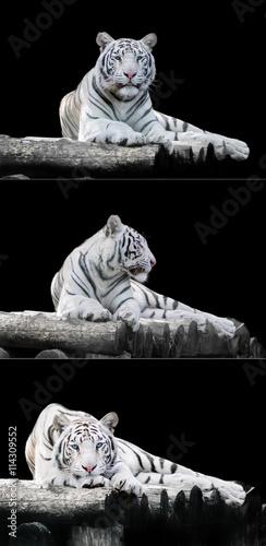 Photo White the Bengal tiger