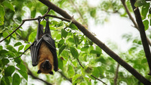Bat Hanging Upside Down On The...