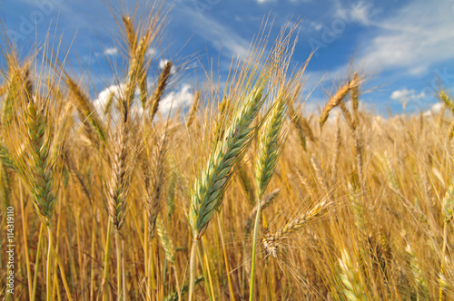 Canvas Prints Culture Close up photo of barley field