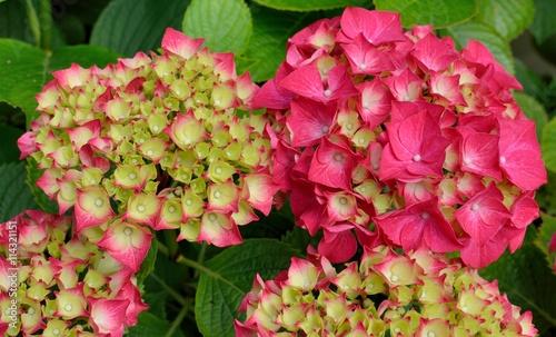 In de dag Candy roze Jolies boules d'hortensias du Trégor en Bretagne