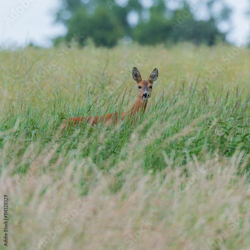 Papiers peints Roe Ein Reh (Capreolus capreolus) versteckt sich im hohen Gras und sichert die Umgebung