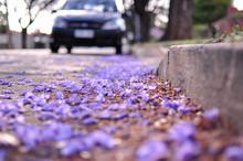 Street Of Vibrant Purple Jacaranda Flowers On Trees