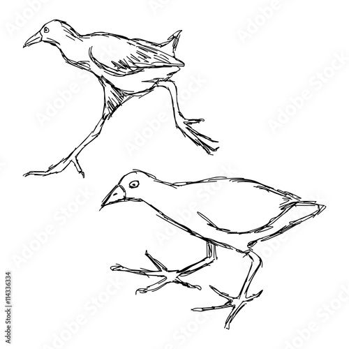 Fotografia, Obraz  illustration vector hand drawn of  African Black Crake Bird isolated on white ba